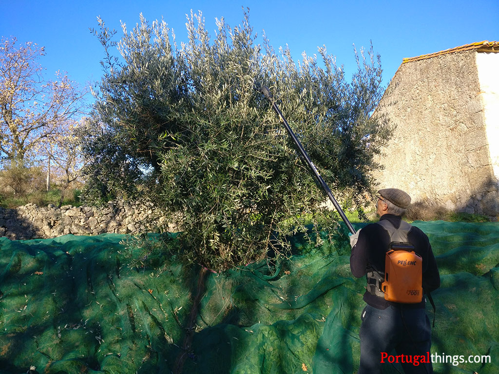 How to produce olive oil in Portugal